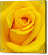 Yellow Beauty Acrylic Print by Mg Blackstock