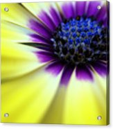 Yellow Beauty With A Hint Of Blue And Purple Acrylic Print