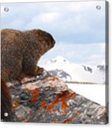 Yellow-bellied Marmot Enjoying The Mountain View Acrylic Print