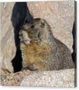 Yellow-bellied Marmot Poses For Pictures Acrylic Print