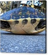 Yellow Bellied Turtle 004 Acrylic Print