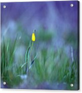 Yellow Bells Acrylic Print