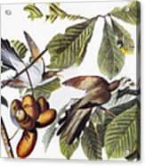 Yellow-billed Cuckoo Acrylic Print