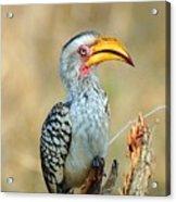 Yellow-billed Hornbill Acrylic Print