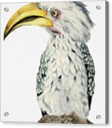 Yellow-billed Hornbill Watercolor Painting Acrylic Print