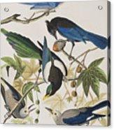 Yellow-billed Magpie Stellers Jay Ultramarine Jay Clark's Crow Acrylic Print