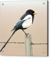 Yellow-billed Magpie Acrylic Print by Wingsdomain Art and Photography