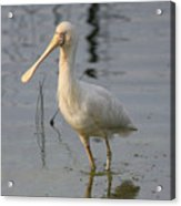 Yellow-billed Spoonbill Acrylic Print