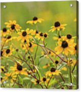 Yellow Black Eyed Susan Wildflowers In Summer Acrylic Print