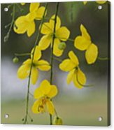 Yellow Blooms Acrylic Print