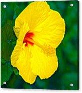 Yellow Blossom Acrylic Print