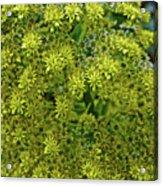 Yellow Blossoms Of Green Aeonium In Huntington Desert Garden In San Marino-california  Acrylic Print