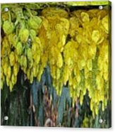Yellow Buds Acrylic Print