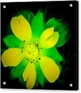 Yellow Buttercup On Black Background Acrylic Print