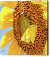 Yellow Butterfly And Sunflower Acrylic Print