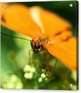 Yellow Butterfly Acrylic Print