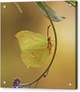 Yellow Butterfly On Blue Forget-me-not Flowers Acrylic Print