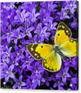 Yellow Butterfly On Mee Acrylic Print