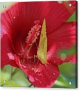 Yellow Butterfly On Red Hibiscus Acrylic Print