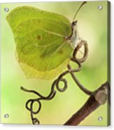 Yellow Butterfly On The Branch Acrylic Print