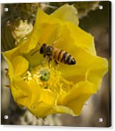Yellow Cactus Flower With Wasp Acrylic Print