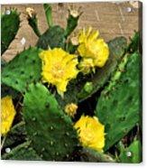 Yellow Cactus Flowers Acrylic Print