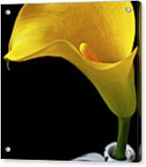 Yellow Calla Lily In Black And White Vase Acrylic Print
