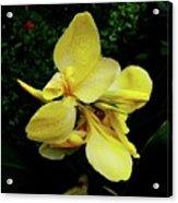 Yellow Canna  Acrylic Print