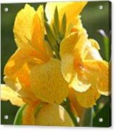 Yellow Canna Indica Acrylic Print