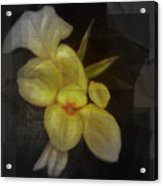 Yellow canna lilies Acrylic Print
