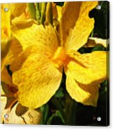 Yellow Canna Lily Acrylic Print by Shawna Rowe