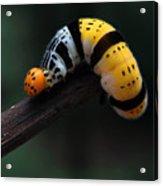 Yellow Caterpillar Acrylic Print