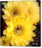 Yellow Cereus Acrylic Print