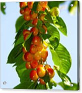 Yellow Cherries Acrylic Print