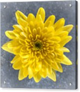 Yellow Chrysanthemum Flower Acrylic Print