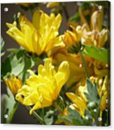 Yellow Chrysanthemum Acrylic Print