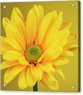 Yellow Chrysanthemum On Yellow Acrylic Print