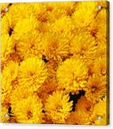 Yellow Chrysanthemums Acrylic Print