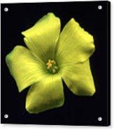 Yellow Clover Flower Acrylic Print