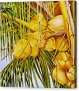 Yellow Coconuts- 01 Acrylic Print