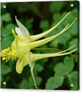 Yellow Columbine Profile Acrylic Print