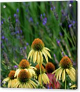 Yellow Coneflowers And Lavender 1633 H_2 Acrylic Print