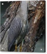 Yellow Crested Night Heron On Log Acrylic Print