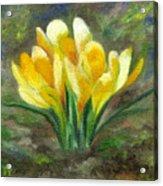 Yellow Crocus Acrylic Print