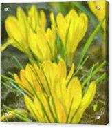 Yellow Crocuses Close Up Acrylic Print