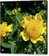 Yellow Crown Flower Acrylic Print
