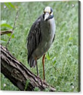 Yellow-crowned Night Heron 2 Acrylic Print