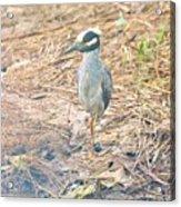 Yellow Crowned Night Heron Along The Tidal Creek Acrylic Print