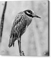 Yellow-crowned Night Heron Black And White Acrylic Print