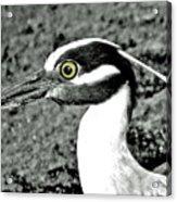 Yellow Crowned Night Heron. Acrylic Print